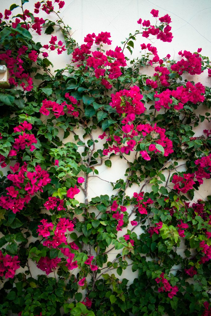 pink wall of trellising floral vines at the Hilton West Palm Beach