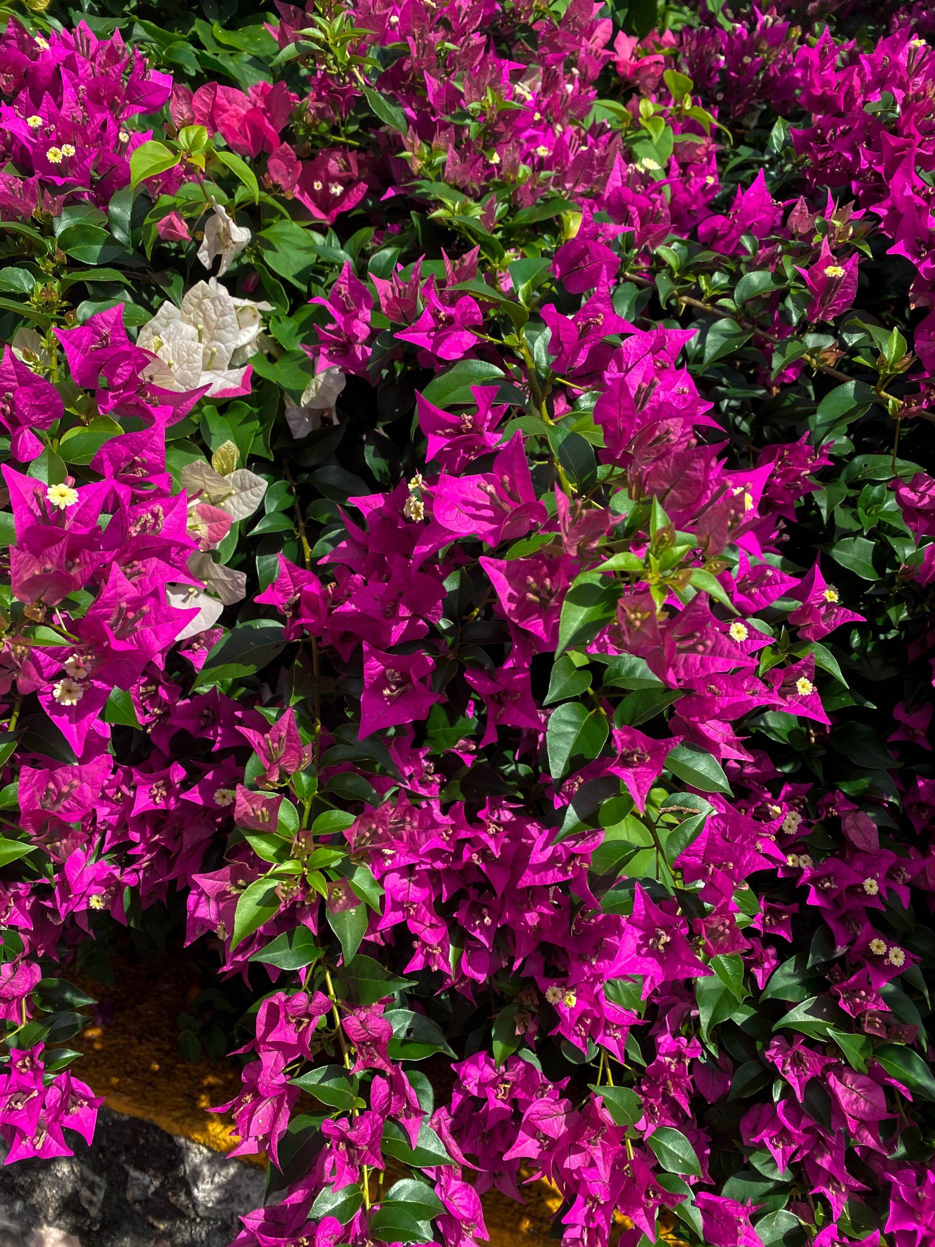bougainvillea flowers mexico tropical flower bush