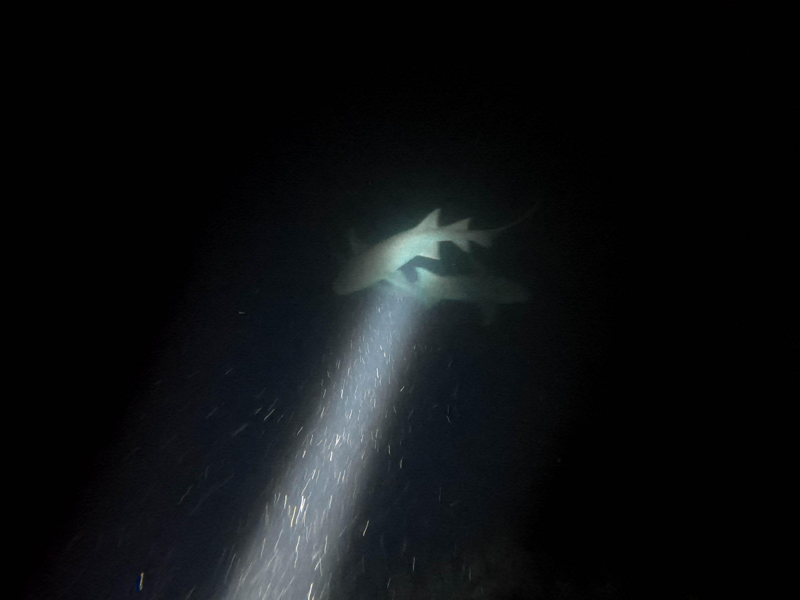 school of sharks maldives night snorkeling snorkel cinnamon velifushi